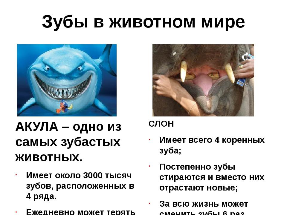 Зубы в животном мире СЛОН Имеет всего 4 коренных зуба; Постепенно зубы стираю...