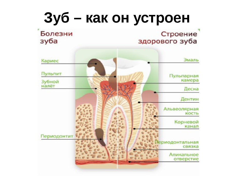 Зуб – как он устроен