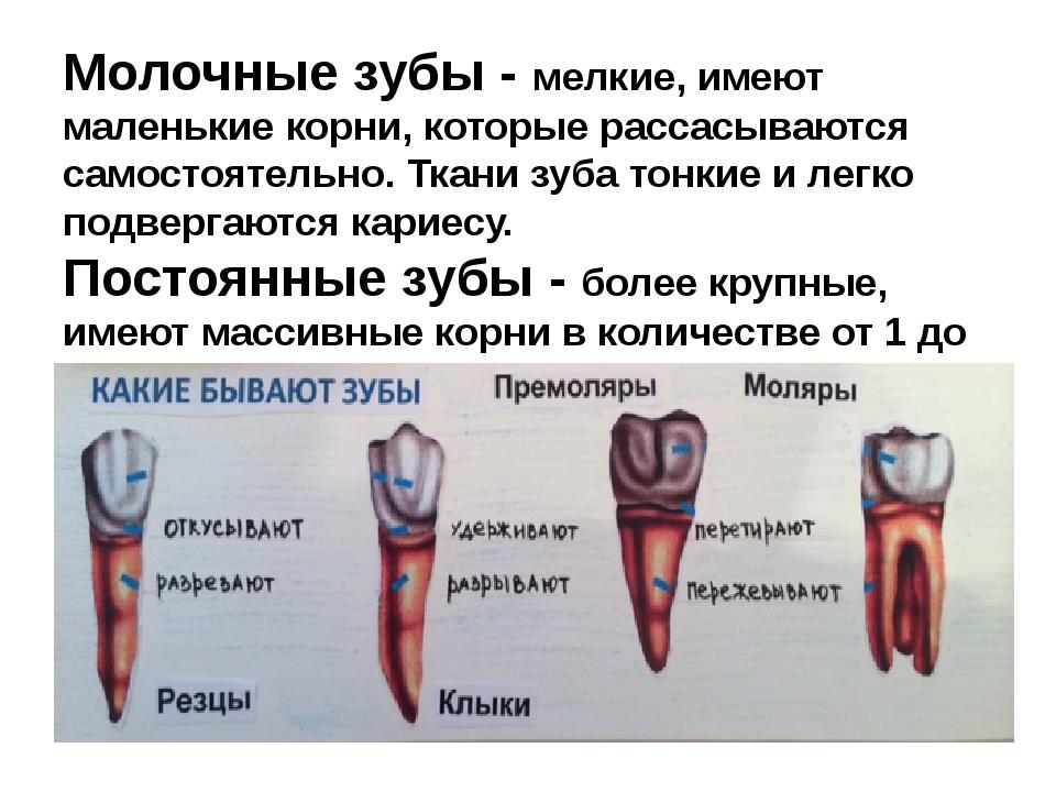 Молочные зубы - мелкие, имеют маленькие корни, которые рассасываются самостоя...