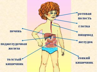 ротовая полость ротовая полость глотка пищевод желудок печень тонкий кишечник