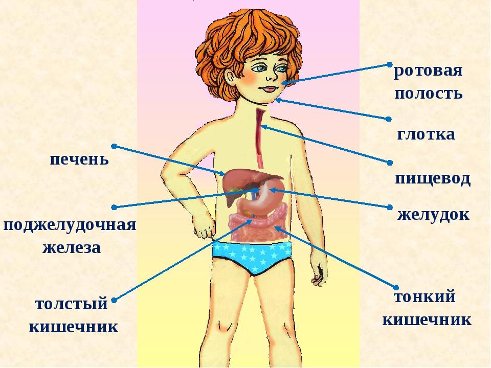 ротовая полость ротовая полость глотка пищевод желудок печень тонкий кишечник...