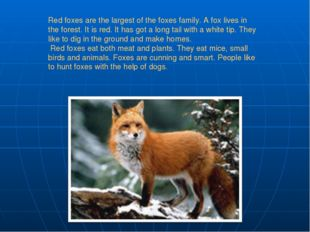 Red foxes are the largest of the foxes family. A fox lives in the forest. It