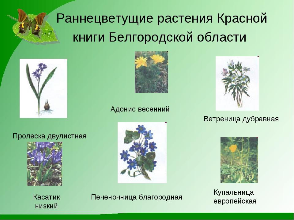 Раннецветущие растения Красной книги Белгородской области Адонис весенний Вет...