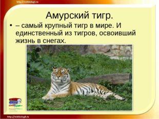 Амурский тигр. – самый крупный тигр в мире. И единственный из тигров, освоивш