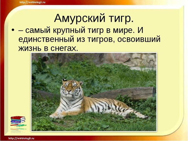 Амурский тигр. – самый крупный тигр в мире. И единственный из тигров, освоивш...