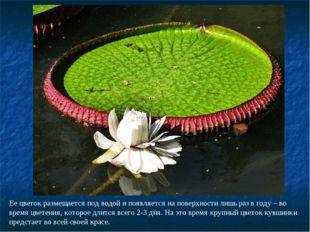 Ее цветок размещается под водой и появляется на поверхности лишь раз в году –