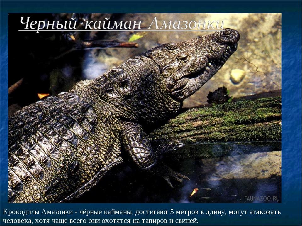 Крокодилы Амазонки - чёрные кайманы, достигают 5 метров в длину, могут атаков...