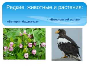 Редкие животные и растения: «Венерин башмачок» «Белоплечий орлан»