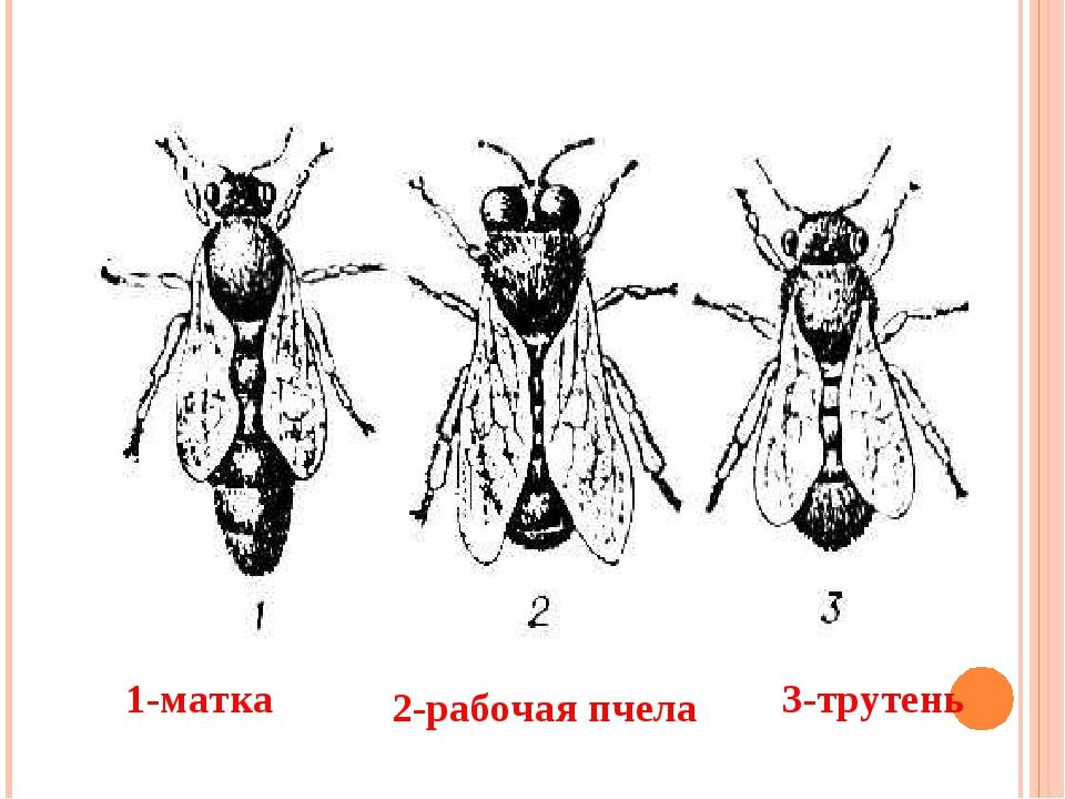 1-матка 2-рабочая пчела 3-трутень