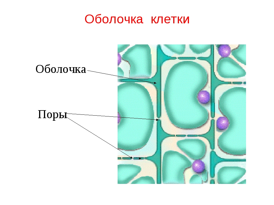 Оболочка клетки Оболочка Поры