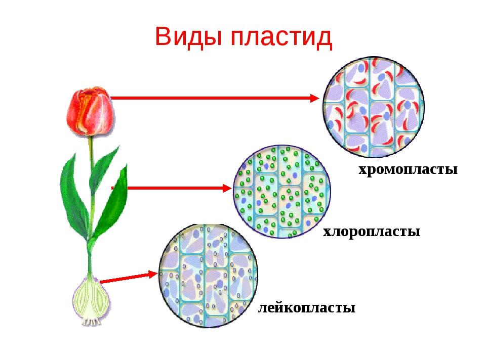Виды пластид лейкопласты хлоропласты хромопласты