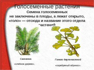 Голосеменные растения Семена голосеменных не заключены в плоды, а лежат откры