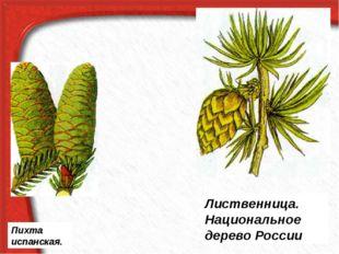 Пихта испанская. Лиственница. Национальное дерево России