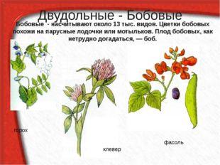 Двудольные - Бобовые Бобовые - насчитывают около 13 тыс. видов. Цветки бобовы