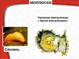 МОЛЛЮСКИ Слизень. Раковина жемчужницы с двумя жемчужинами.
