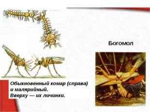 Богомол Обыкновенный комар (справа) и малярийный. Вверху — их личинки.