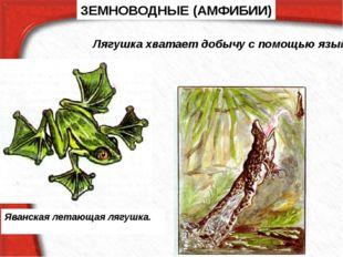 ЗЕМНОВОДНЫЕ (АМФИБИИ) Яванская летающая лягушка. Лягушка хватает добычу с пом