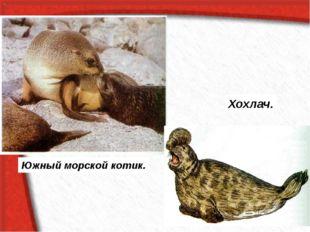 Южный морской котик. Хохлач.