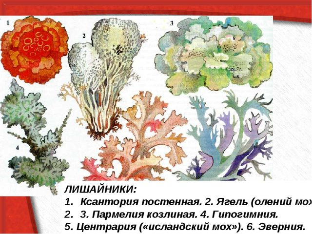 ЛИШАЙНИКИ: Ксантория постенная. 2. Ягель (олений мох). 3. Пармелия козлиная....