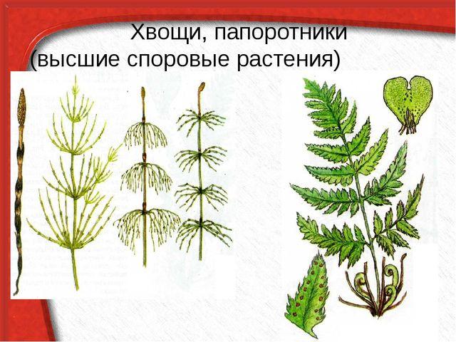 Хвощи, папоротники (высшие споровые растения)