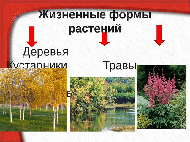 Жизненные формы растений Деревья Кустарники Травы Цветы