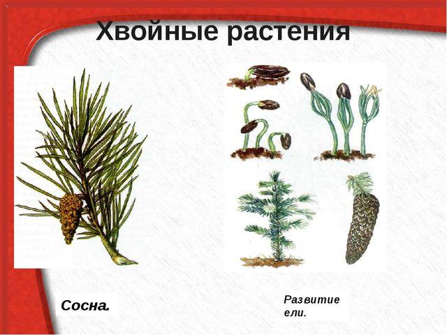 Хвойные растения Сосна. Развитие ели.