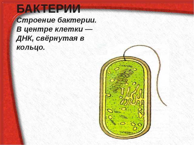 БАКТЕРИИ Строение бактерии. В центре клетки — ДНК, свёрнутая в кольцо.