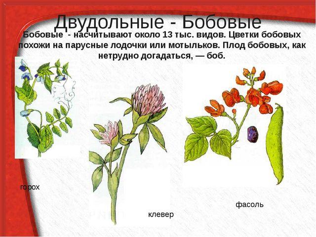 Двудольные - Бобовые Бобовые - насчитывают около 13 тыс. видов. Цветки бобовы...
