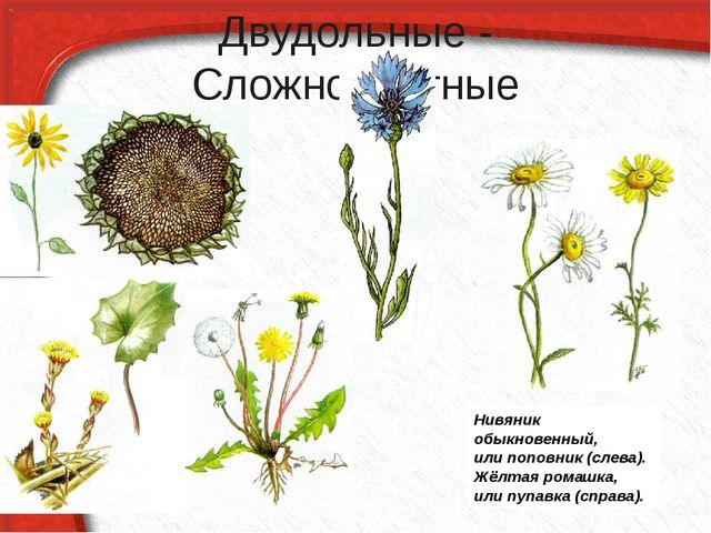 Двудольные - Сложноцветные Нивяник обыкновенный, или поповник (слева). Жёлтая...