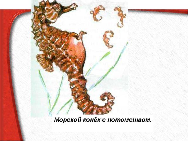 Морской конёк с потомством.