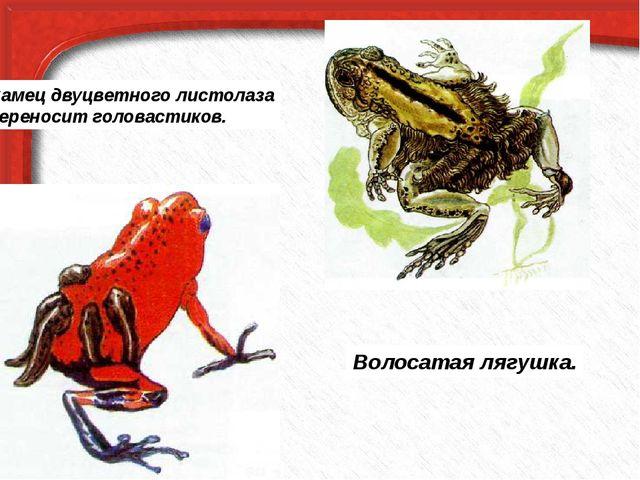Самец двуцветного листолаза переносит головастиков. Волосатая лягушка.