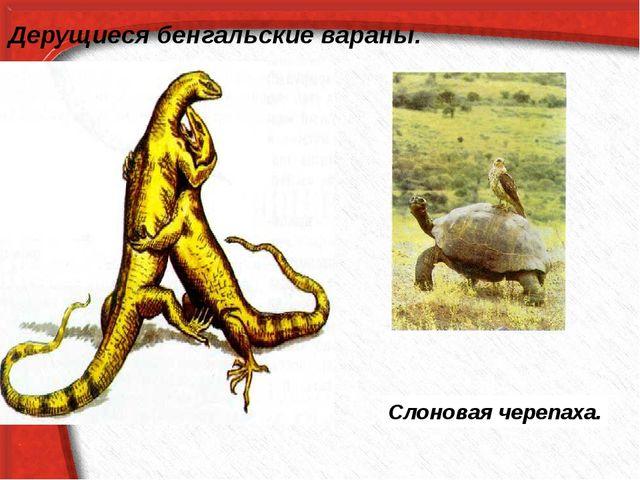 Слоновая черепаха. Дерущиеся бенгальские вараны.