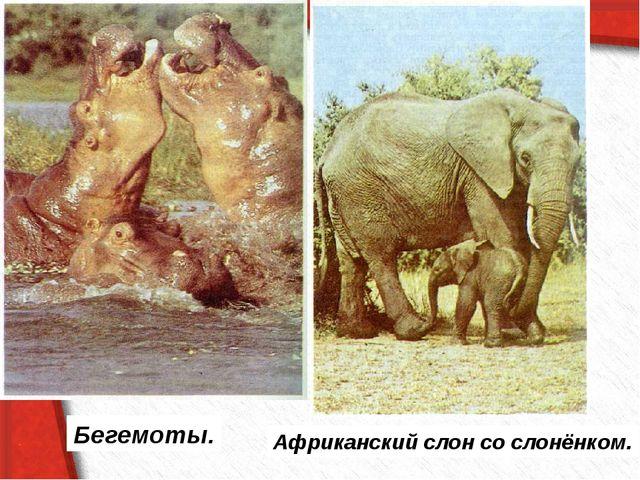 Бегемоты. Африканский слон со слонёнком.