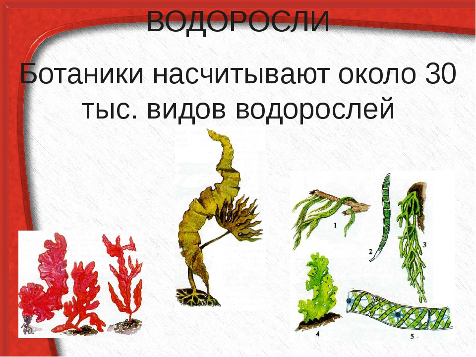 ВОДОРОСЛИ Ботаники насчитывают около 30 тыс. видов водорослей