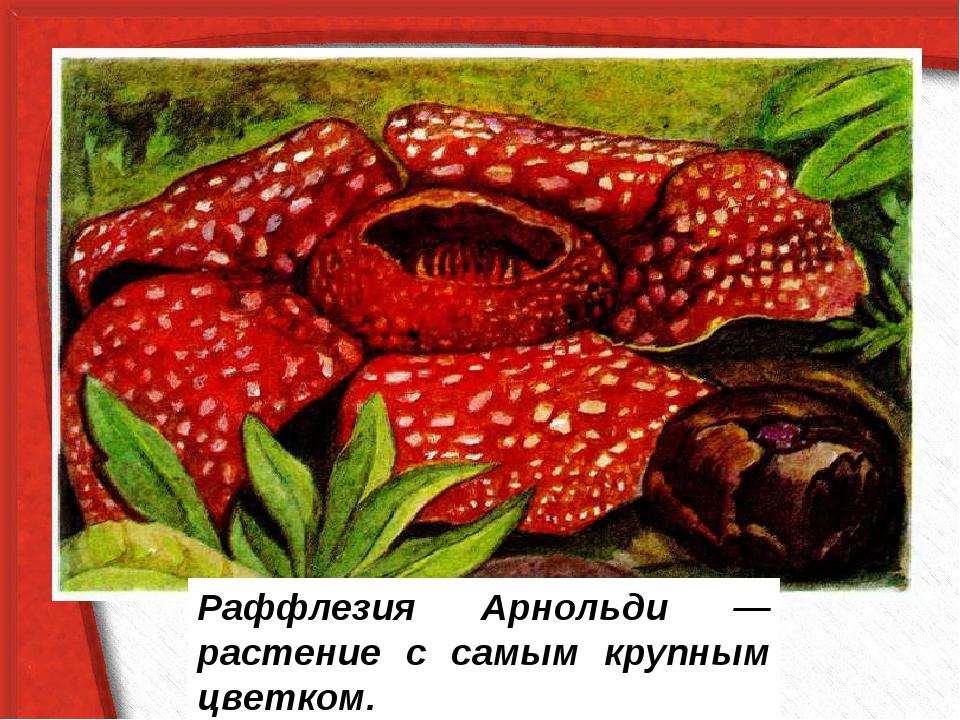 Раффлезия Арнольди — растение с самым крупным цветком.
