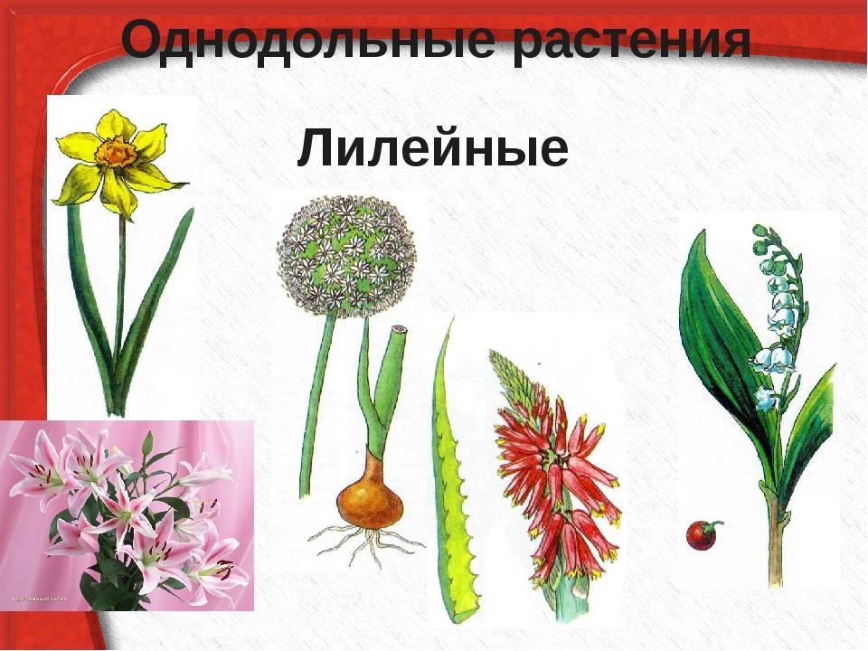Однодольные растения Лилейные