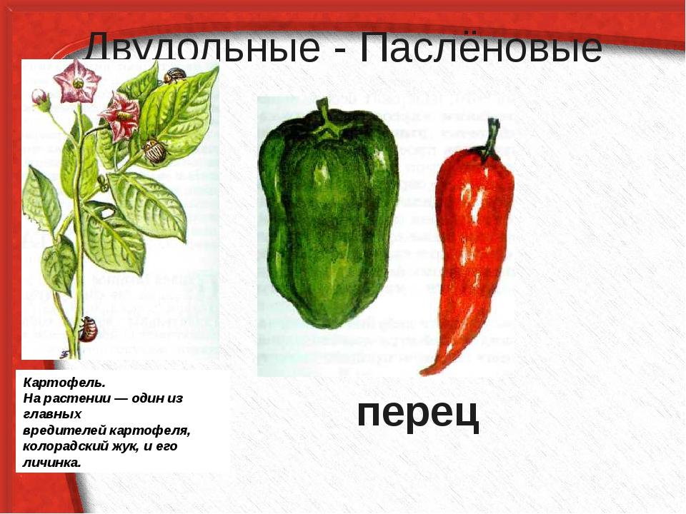 Двудольные - Паслёновые перец Картофель. На растении — один из главных вредит...