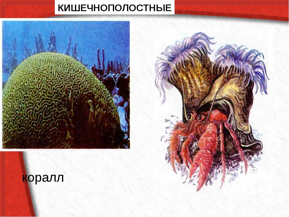 КИШЕЧНОПОЛОСТНЫЕ коралл