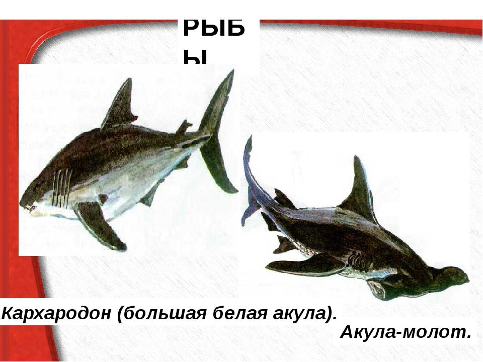 РЫБЫ Акула-молот. Кархародон (большая белая акула).