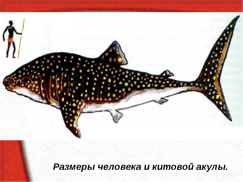 Размеры человека и китовой акулы.