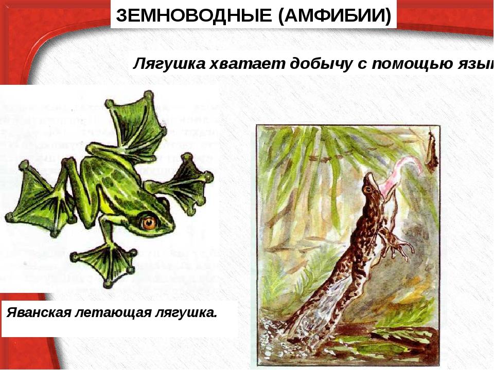 ЗЕМНОВОДНЫЕ (АМФИБИИ) Яванская летающая лягушка. Лягушка хватает добычу с пом...