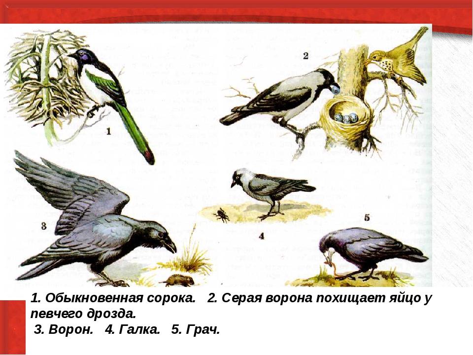 1. Обыкновенная сорока. 2. Серая ворона похищает яйцо у певчего дрозда. 3. В...