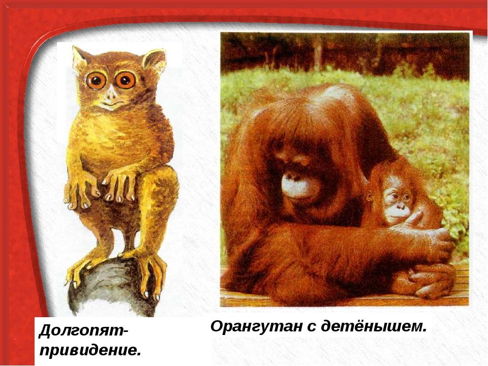 Долгопят-привидение. Орангутан с детёнышем.