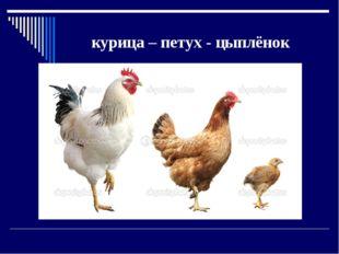 курица – петух - цыплёнок