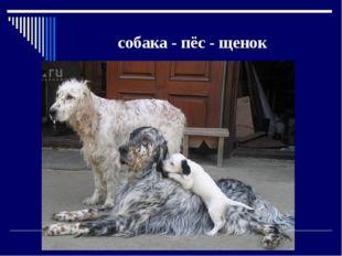 собака - пёс - щенок