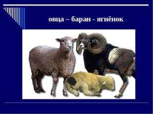 овца – баран - ягнёнок