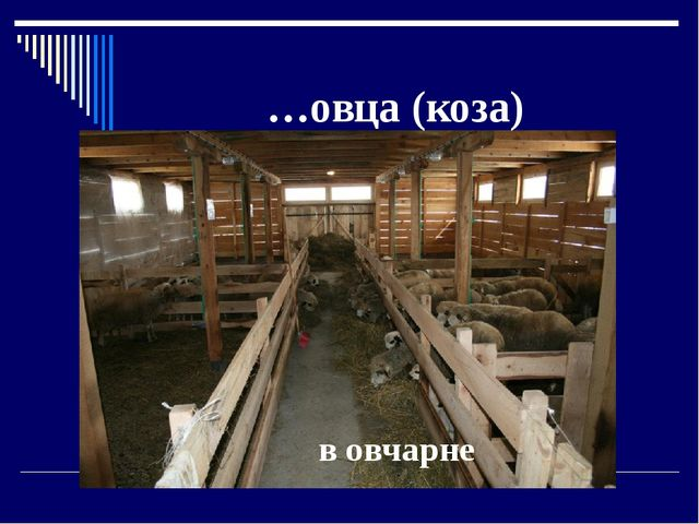 в овчарне …овца (коза)