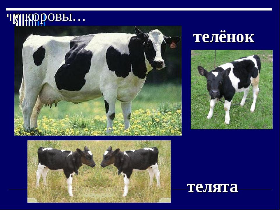 у коровы… телёнок телята