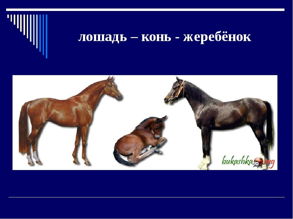 лошадь – конь - жеребёнок