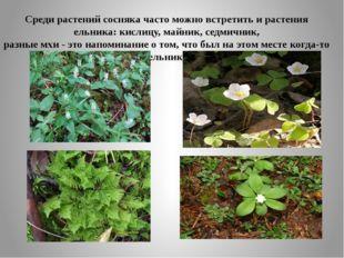 Среди растений сосняка часто можно встретить и растения ельника: кислицу, май